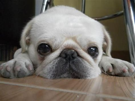 loca the pug problem 25 best ideas about white pug on baby black pug pug puppies and pug