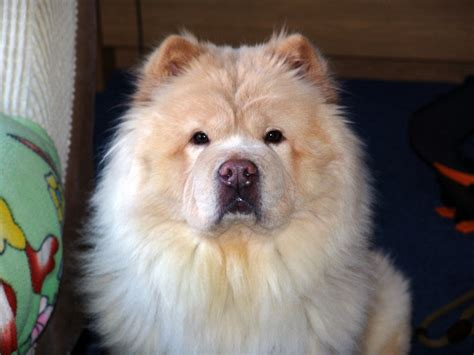 chow chow chow chow by kinbesphotography on deviantart