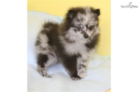 merle pomeranian puppies for sale pomeranian puppy for sale near grand island nebraska 61b4b13d f3d1