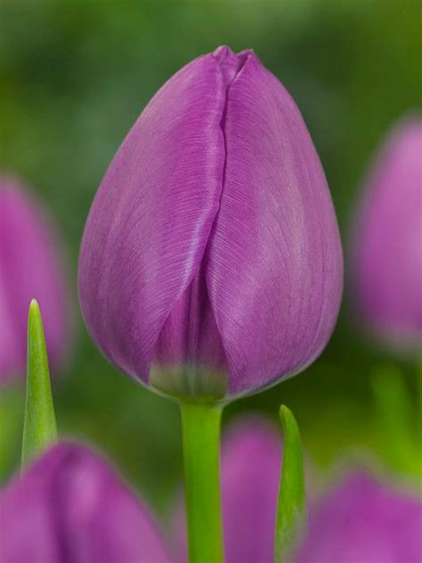 Mukena Bunga Tulip Green 17 best images about tulips on banja luka houses and green