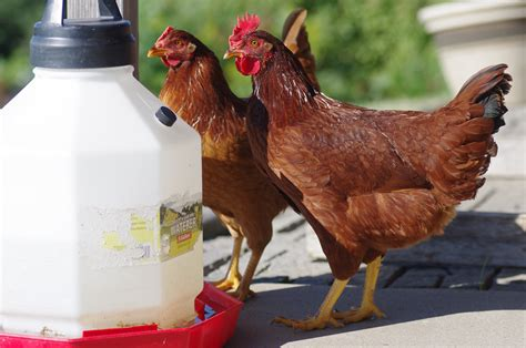Backyard Chickens Watery Eggs Veterinary Pharmacologist Warns That Eggs From Backyard