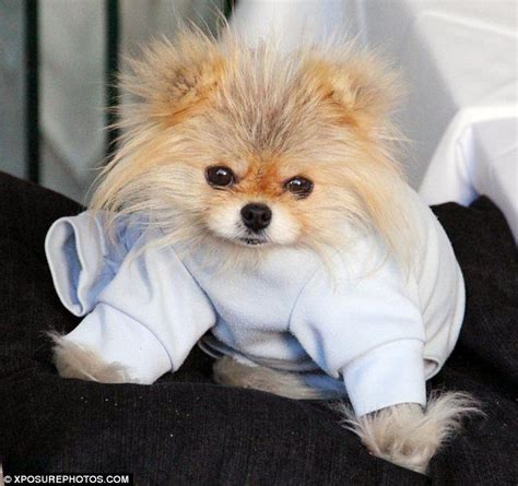 giggy the pomeranian vanderpump s pet giggy enjoys a s dinner with his pals and ken todd is