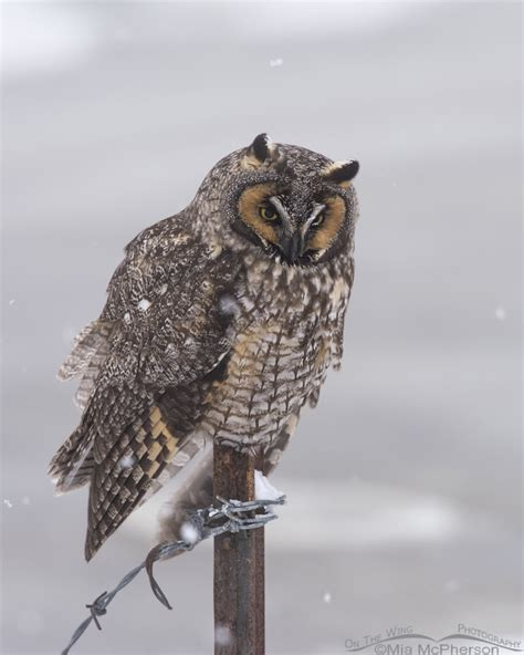 The Snow Falling Into My Wings Vol 1 a eared owl and snow at farmington bay