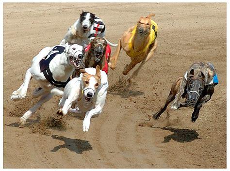 greyhound racing greyhound racing