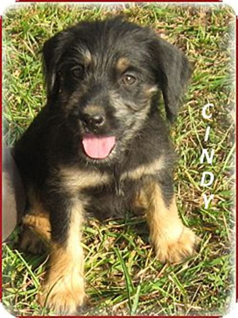 yorkie aussie mix marlborough ma yorkie terrier australian shepherd mix meet
