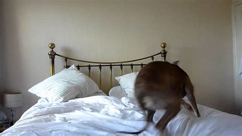 bed spins bed spins omg dog spinning on bed for no reason video by