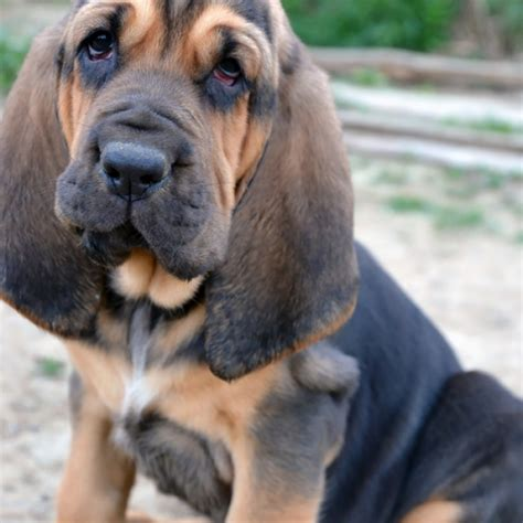 free bloodhound puppies bloodhound puppies for sale animaroo