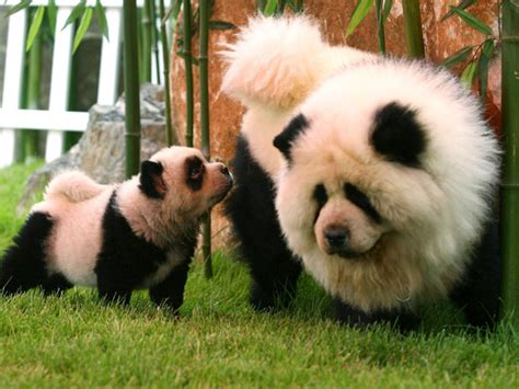 puppies that look like pandas photos paint their dogs to look like pandas tigers in new fad national post