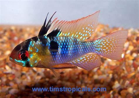 german blue ram german blue ram cichlid awesomely aquatic