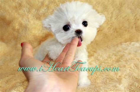 tea cups dogs micro teacup maltipoo pocket micro teacup puppy for sale in los angeles a