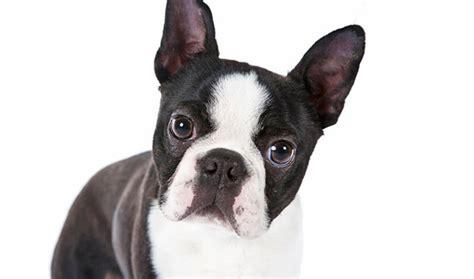 boston terrier puppy boston terrier breed information