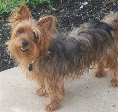 silky terrier with haircut silky terrier haircuts hairstylegalleries com
