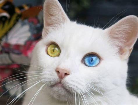 foto di gatti persiani bianchi foto gallery gatti pagina 4 di 14 tutto ze