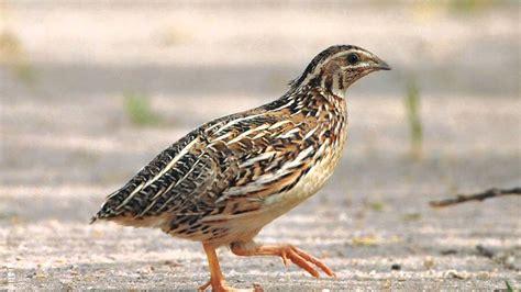 common quail sound doovi