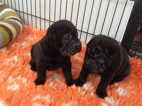 shar pei puppies for sale in shar pei puppies for sale nottingham nottinghamshire pets4homes