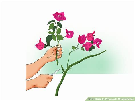 Bougainvillea Vermehren by How To Propagate Bougainvillea 12 Steps With Pictures