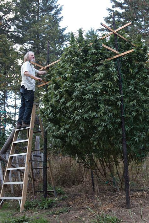 giant plants  southern oregon high times