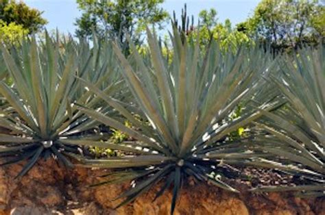 the mezcal experience a field guide to the world s best mezcals and agave spirits books a field guide to the agave used for mezcal drinkhacker