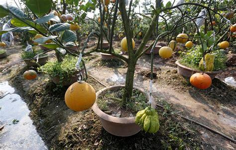 new year fruit tree the garden of five fruit trees in hanoi news vietnamnet