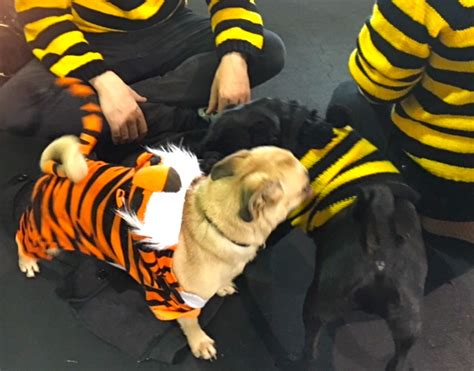 best pug costume photos from the best just for pugs talent hounds