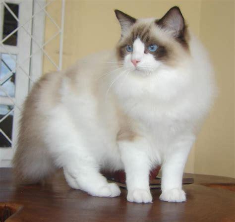Sisir Kucing Angora file ragdoll from gatil ragbelas jpg wikimedia commons