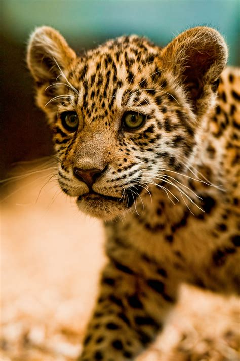 imagenes de jaguares kawaii iazua walking this is the other cub her name is iazua