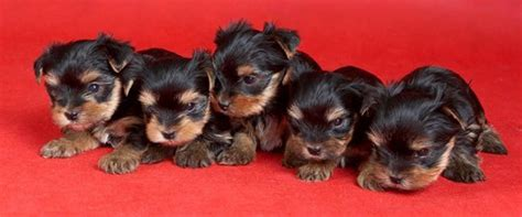 average price for yorkie puppy how much does a yorkie puppy cost terrier price ranges yorkie