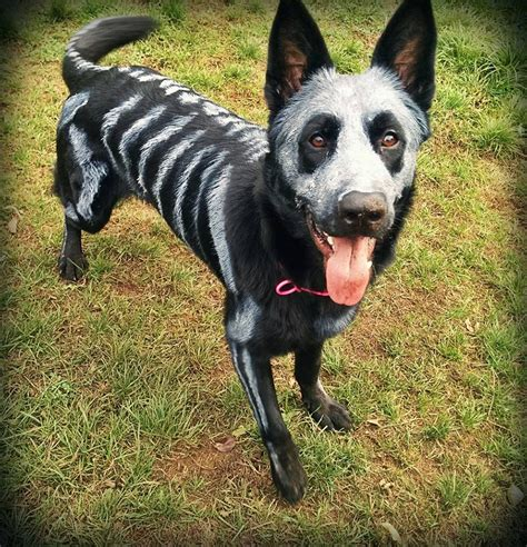 Khimar Simpel Mutiara Non Pet pet owners use non toxic paint to turn their animals into creepy skeletons for