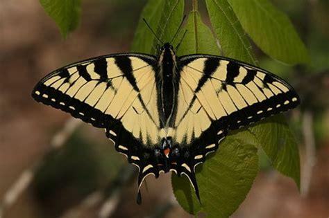 tigre y mariposa imagenes la mariposa de austin una lecci 243 n de excelencia educativa