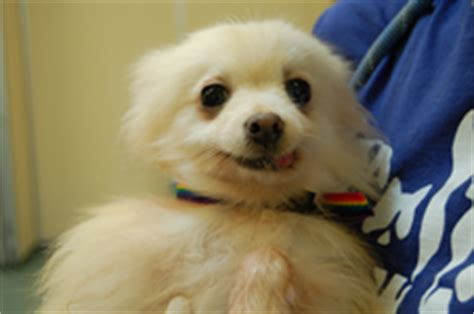 pomeranian rescue missouri talking dogs at for of a october 2011