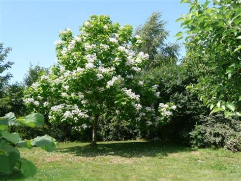 albero con fiori bianchi albero con fiori bianchi profumati stratfordseattle