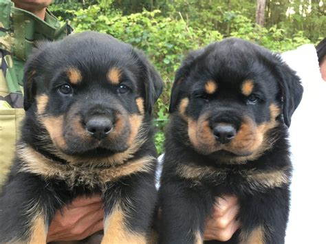 rottweiler puppies rottweiler puppies for sale poole dorset pets4homes