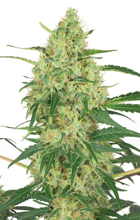 duch pasion 174 feminized cannabis seeds buy safely from