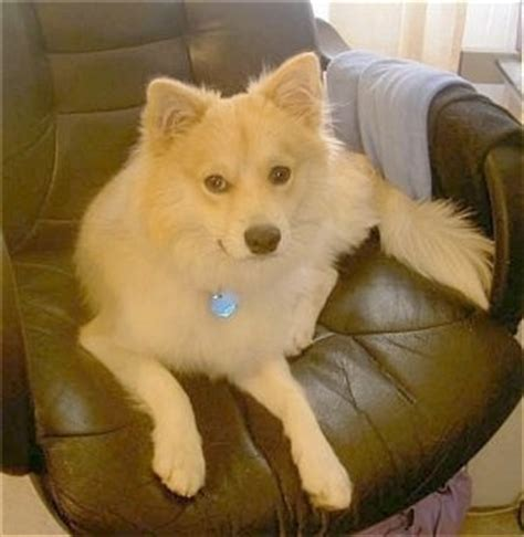 pomeranian and eskimo mix pomeranian pug mix for