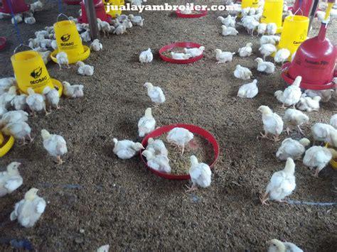 Jual Bibit Ayam Broiler jual ayam broiler di aren jaya jual ayam broiler