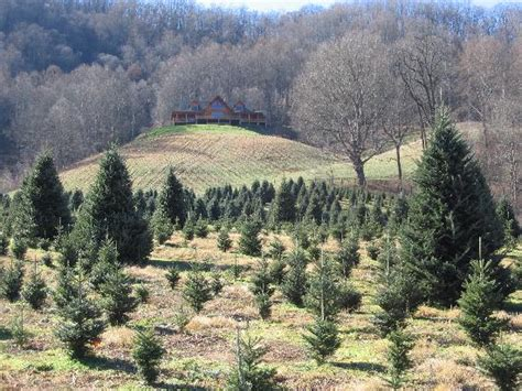 boyd s christmas tree farm in maggie valley picture of