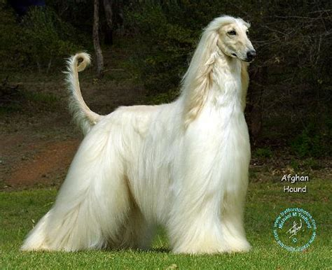 afghan hound puppy mousematuk dogs afghan hound afghan hound 9j32d 21
