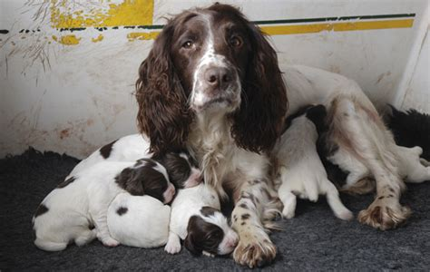 how to sell puppies gundog puppies how to sell responsibly