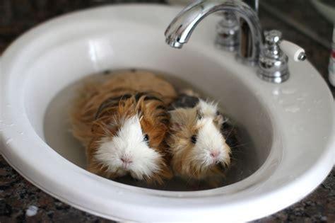 Pig In A Bathtub by Guinea Pig Bath Time Travel