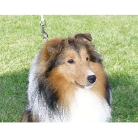 sheltie puppies for sale wisconsin parkae shelties shetland sheepdog breeder in shiocton wisconsin listing id 11792