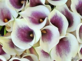 picasso calla lilies calcallas com