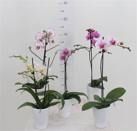 Orchidee Come Curarle In Appartamento by Piante Orchidee Piante Orchidee Pianta Di Orchidea Shop