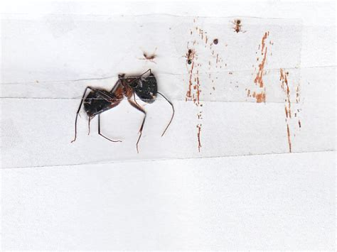 file big ant related to argentine ants jpg wikimedia