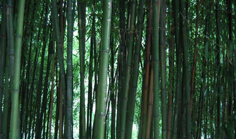 Pine And Bamboo Garden by This Is The B Page Of Our A To Z Guide To Plants How To