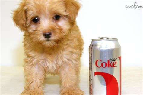 maltipoo puppies for sale ohio maltipoo puppies for sale in ohio buy or adopt a puppy maltipoo puppies for sale in