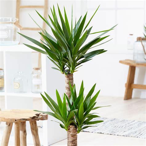 buy house plants now yucca 2 trunks bakker com buy spineless yucca yucca elephantipes delivery by