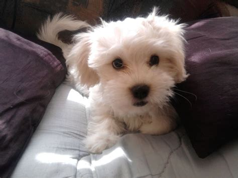 havanese and bichon mix bichon havanese mix www imgkid the image kid has it