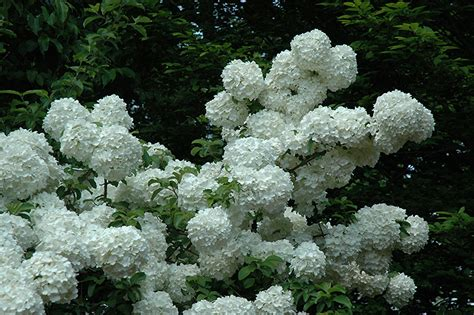 China Garden Moorhead by Snowball Viburnum Viburnum Macrocephalum In