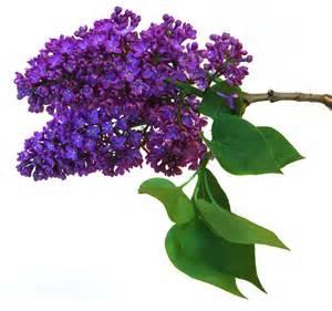 lilac farm dover planting lilacs