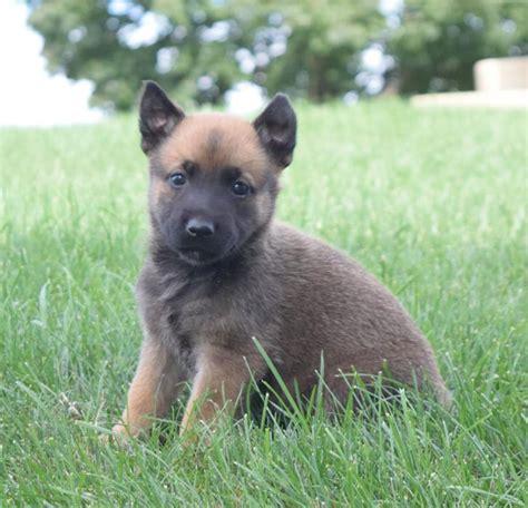 craigslist german shepherd puppies for sale lively german shepherd belgian malinois pups craigspets